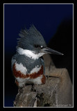 Belted Kingfisher, Sausalito