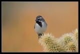 Black-throated Sparrow, Borrego Springs