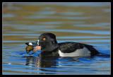 Ring-Necked Duck, Santee