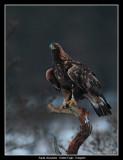 Golden Eagle at Dusk