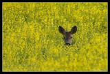 Deer in Rapeseed field