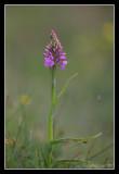 Wild Orchid, Stenshuvud