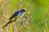 Yellow-billed Cuckoo with Breakfast