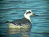 Grey Phalarope - Phalaropus fulicarius - Falaropo picogrueso - Escuraflascons Becgros