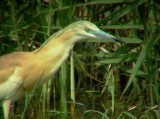 Squacco Heron - Ardeola ralloides - Gracilla cangrejera - Martinet Ros - Tophejre