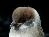 Young Tree Sparrow -Juvenile Passer montanus - Joven de Gorrion Molinero - Jove de Pardal Xàrrec - Skovspurv