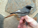 Black redstart - Phoenicurus ochruros - Colirojo tizon - Cotxa Fumada