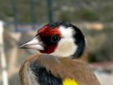 Goldfinch - Carduelis carduelis - Jilguero - Cadernera