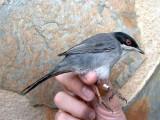 Sardinean Warbler - Sylvia melanocephala - Curruca cabecinegra - Tallarol capnegra