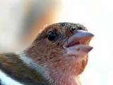 Common Chafinch - Fringilla coelebs - Pinzón - Pinsà comú