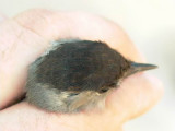 Blackcap - Sylvia atricapilla - Curruca capirotada - Tallarol de casquet