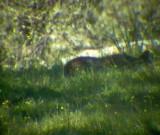 Pardel Lynx or Iberian Lynx - Lynx pardinus - Lince Ibérico - Linx ibèric