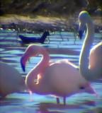 Birding in Fuente de Piedra Lagoon, Campillos, Teba and Guadalorce reservoirs (Malaga)