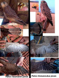 Identification TIPS - Identification of juvenile Lesser Kestrel and Common Kestrel
