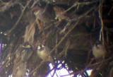 Spanish and House Sparrows - Paser hispaniolensis and domesticus - Gorrion moruno - Pardal de Passa