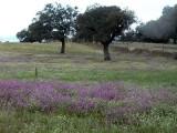 Flowers in the dehesa forest - Flores en la dehesa extremeña - Flors a la dehesa extremeña