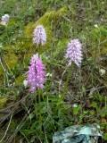 Italian Man Orchid - Orchis italica - Orquidea hombre