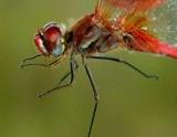 Red-veined Darter - Sympetrum fonscolombii - Libèlula d'ales vermelles - Libélula de alas rojas