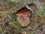 Plain Tiger Butterfly - Danaus chrysippus - Mariposa tigre - Papallona tigre
