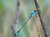 Iberian Bluetail Damselfly - Ischnura graelsii - Damisela ibèrica
