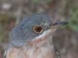 Subalpine Warbler - Sylvia cantillans - Tallarol de Garriga - Curruca Carrasqueña