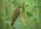 Great Reed Warbler - Achrocephalus arundinaceus - Carricero Tordal - Balquer
