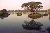 Don Det Tree.Mekong.