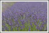 Fields of Lavender and blue