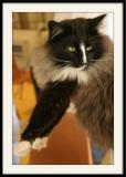 Yeux vertsou le chat Gordini .