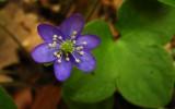 hépatique noble Hepatica nobilis
