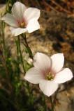 lin à feuille de Salsola (lin ligneux)Linum suffruticosum