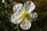 églantier (rosier) des champs Rosa arvensis