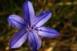 aphyllante de Montpellier (bragalou) Aphyllantes monspeliensis