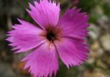 oeillet des bois Dianthus sylvestris