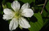 ronce Rubus fruticosus