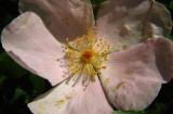 rosier des chiens / églantier commun Rosa canina