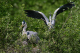 Herons 'changing guard' on the nest  10