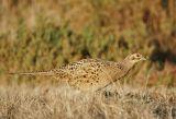 Ring-necked Pheasant, female
