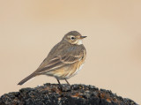 Pipits, Wagtails, etc.