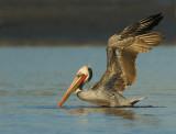 Brown Pelican, breeding plumage
