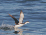 Red-throated Loon, adult non-breeding