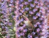 Calliope Hummingbirds