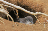 Wedge-tailed Shearwater, in nest burrow