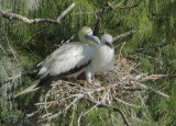 Red-footed Boobies, adult and nestling