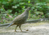 California Quail, female (Lady in High Heels)