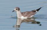 Franklin's Gull, juvenile