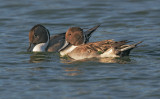 Northern Pintails, males fighting