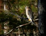 Red Shouldered Hawk  - Watching