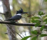 Belted Kingfisher - Difficult Hair Day