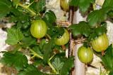 Gooseberry Delight